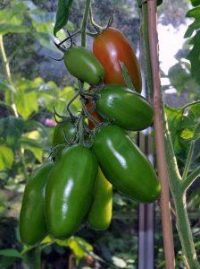 Marzano tomat